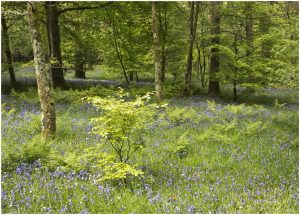 Holme wood beech and bluebells _79A0569